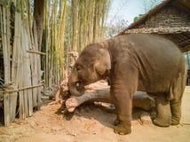Behandla som ett barn elefanten med våt hud royaltyfri bild