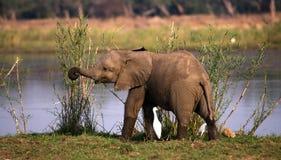 Behandla som ett barn elefanten nära Zambeziet River zambia Fäll ned den Zambezi nationalparken Zambezi River Arkivfoto