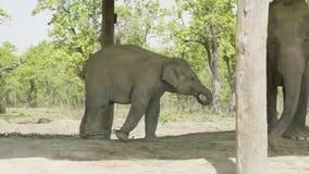 Behandla som ett barn elefanten når ut till mamman i lantgården av nationalparken Chitwan, Nepal lager videofilmer