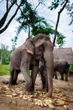 Behandla som ett barn elefanten och modern som äter havre Royaltyfria Foton