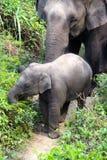 Behandla som ett barn elefanten och modern ut för en promenad Royaltyfria Bilder