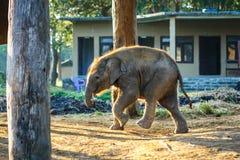 Behandla som ett barn elefanten på den Chitwan nationalparken, Nepal Arkivfoto