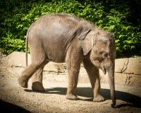 Behandla som ett barn elefanten på St Louis Zoo Arkivfoto