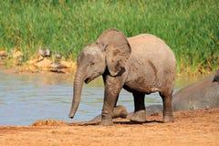 Behandla som ett barn elefanten på waterhole Arkivfoton