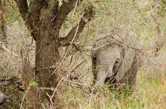 Behandla som ett barn elefanten som äter i busken Royaltyfri Foto