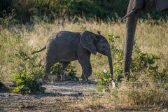 Behandla som ett barn elefanten som att närma sig dess moder i buske Royaltyfri Bild