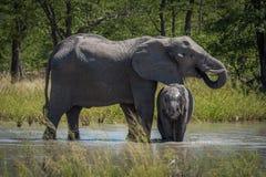 Behandla som ett barn elefanten som dricker under hals av modern Royaltyfri Fotografi