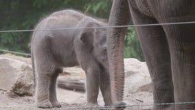 Behandla som ett barn elefanten som försöker att finna hans väg stock video