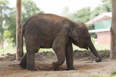 Behandla som ett barn elefanten som går övning Arkivfoto
