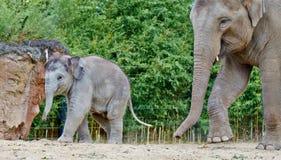 Behandla som ett barn elefanten som går med mamman Arkivbilder