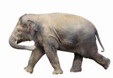 Behandla som ett barn elefanten som isoleras på white Arkivfoton