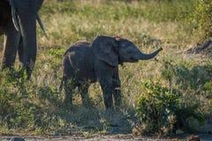 Behandla som ett barn elefanten som lyfter dess stam bredvid moder Arkivbilder