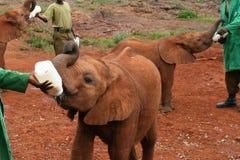 Behandla som ett barn elefanten som mottar det, är mjölkar royaltyfri foto