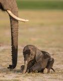 Behandla som ett barn elefanten som ner ligger i den Amboseli nationalparken, Kenya Fotografering för Bildbyråer