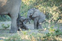 Behandla som ett barn elefanten som skjuter över andra bak moder Arkivfoto