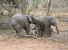 Behandla som ett barn elefanten som spelar i en rolig väg i savannet Arkivbilder