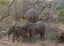 Behandla som ett barn elefanten som spelar i en rolig väg i savannet Fotografering för Bildbyråer