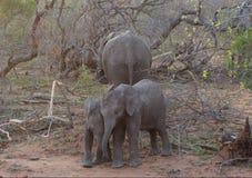 Behandla som ett barn elefanten som spelar i en rolig väg i savannet Arkivfoton