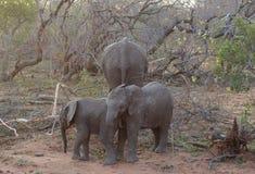 Behandla som ett barn elefanten som spelar i en rolig väg i savannet Royaltyfri Bild