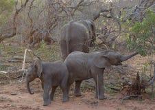 Behandla som ett barn elefanten som spelar i en rolig väg i savannet Royaltyfri Foto