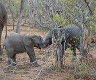Behandla som ett barn elefanten som spelar i en rolig väg i savannet Arkivfoto