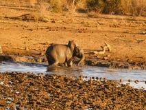 Behandla som ett barn elefanten som spelar i waterhole i Sydafrika Arkivbild