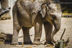Behandla som ett barn elefanten som spelar med en journal av trä Royaltyfri Bild