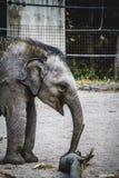 Behandla som ett barn elefanten som spelar med en journal av trä Royaltyfri Fotografi