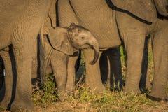 Behandla som ett barn elefanten som ställa i skuggan av vuxna människor som vänder mot kameran Fotografering för Bildbyråer