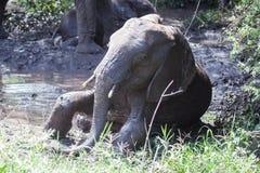 Behandla som ett barn elefanten som tar gyttjebadet Royaltyfri Foto