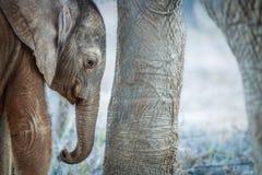 Behandla som ett barn elefanten som vilar mellan moderns ben Arkivfoto