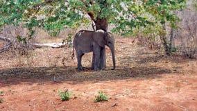 Behandla som ett barn elefanten under ett träd Royaltyfri Bild