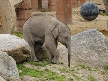 Behandla som ett barn elefanten vaggar in Royaltyfri Fotografi