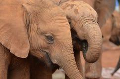 Behandla som ett barn elefanter Arkivbild
