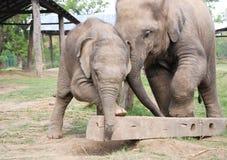 behandla som ett barn elefanter Royaltyfria Bilder