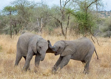 Behandla som ett barn elefanter, den Tarangire nationalparken, Tanzania, Afrika Royaltyfri Fotografi