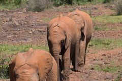 Behandla som ett barn elefanter i linje Royaltyfria Bilder