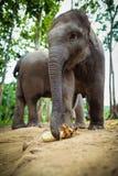 Behandla som ett barn elefanter som leker och äter havre. Arkivfoton