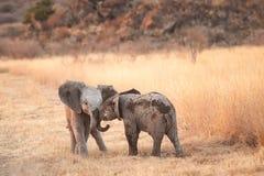 behandla som ett barn elefanter två arkivbilder