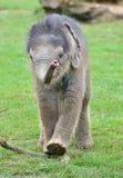 behandla som ett barn elefantindier Arkivbilder