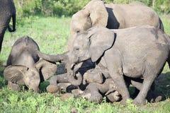 Behandla som ett barn elefantkalvlek i gyttjan Arkivfoton
