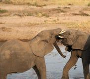 Behandla som ett barn elefantlekstridighet Arkivbilder