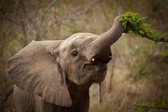 behandla som ett barn elefantmatning Royaltyfria Bilder