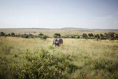 2 behandla som ett barn elefantmodern Royaltyfria Foton
