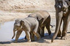 behandla som ett barn elefantmodern Arkivbild