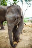 Behandla som ett barn elefantplattform Arkivfoto