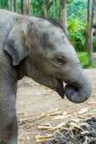 Behandla som ett barn elefantplattform Fotografering för Bildbyråer