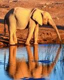 Behandla som ett barn elefantreflexionen arkivfoto