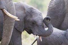 Behandla som ett barn elefantstammen upp Arkivfoton