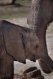 Behandla som ett barn Elephand och hans moder Royaltyfria Foton